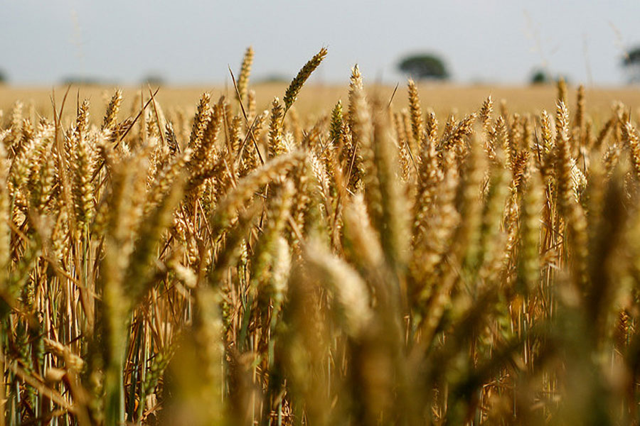 Resultado de imagen para Imagen del trigo que nace y crece