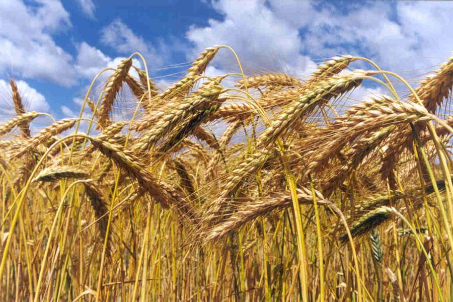 Crecimiento de las semillas de trigo
