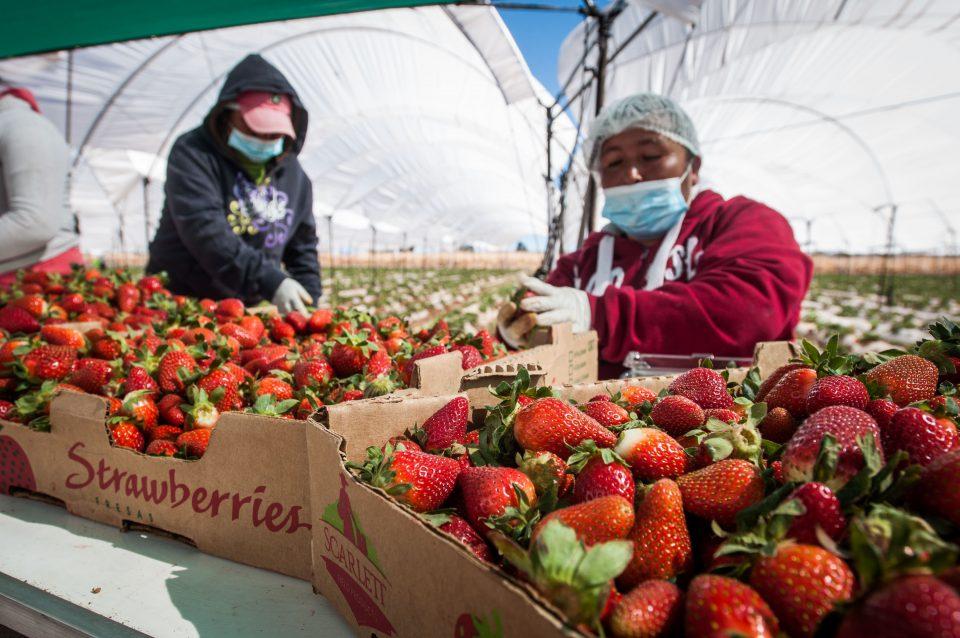 Aumenta en México la exportación de fresa
