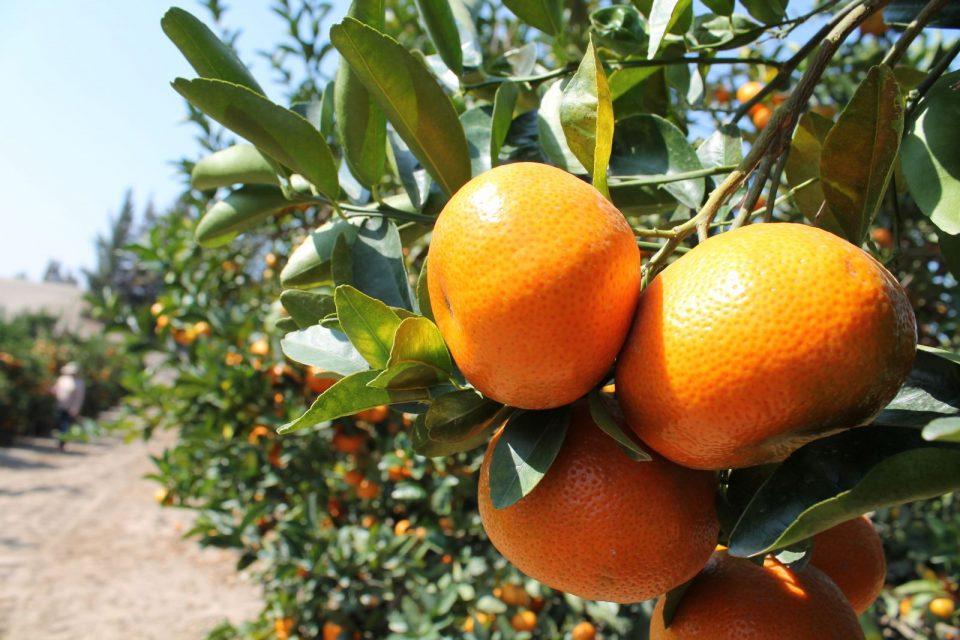 Mandarina, un cítrico terapéutico y delicioso
