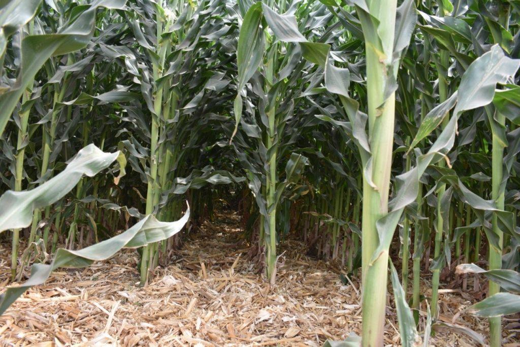 Calidad de siembra en el maíz